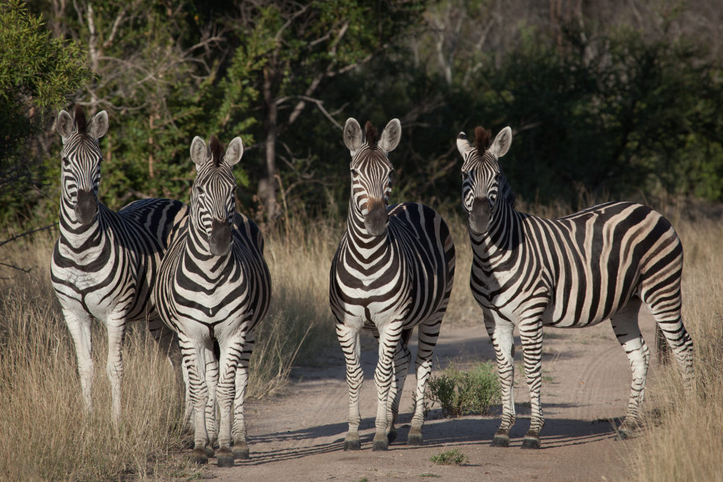A dazzle of zebras look curiously on at Londolozi Game Reserve